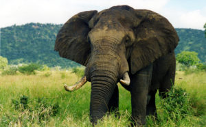 10006-an-elephant-in-the-wild-pv